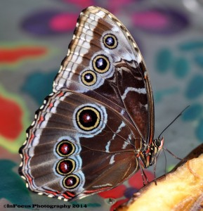BLUE MORPHO BUTTERFLY_2